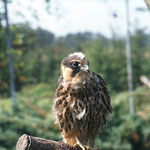 Junger Baumfalke (Foto: E. Nerger)