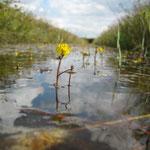 Wasserschlauch blüht nur selten (Foto: C. Marien)
