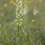 Weiße Waldhyanzinthe (Foto: E. Nerger)