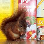 Handaufgezogenes Eichhörnchen (Foto: E. Nerger)