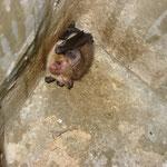 Fledermaus (Braunes Langohr) im Kleibernistkasten (Foto: C. Marien)