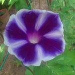 紫矢車 5本