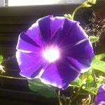白縁紫紺矢車