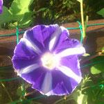 紫矢車 6本