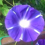 紫矢車 6本の変形