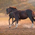 Pferde vom Klosterhof Medingen