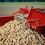 Kartoffel satt - der Roder nimmt die Kartoffeln auf und befördert sie auf die Anhänger.