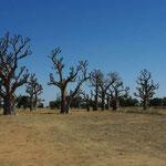 """""""Forêt"""" de baobabs"""