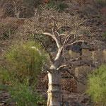 Les dogons leur raclent le tronc pour les protéger des termites