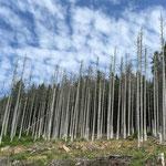 der kaputte Wald im Harz