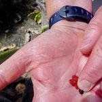 der Karminfarbstoff der Schildlaus in meiner Hand
