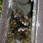 Eine Mäusefamilie im Nistkasten
