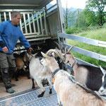 Der Verlad der Ziegen ist nicht immer ganz einfach. Kurt Zwicky junior hat dafür grosse Routine  (Bilder hasp)