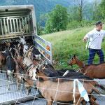 Auch die Ziegen freuen sich auf die Alpfahrt  (Bilder hasp)