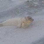 Norderney - Robbenbaby gestrandet und gerettet