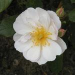 """rose """"sourire d'orchidée"""""""