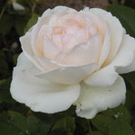 "rose ""palais royal"""