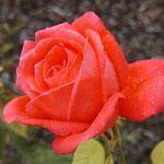 """rose """"de star"""""""