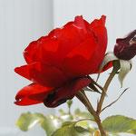 """rose """"légion d'honneur"""""""