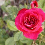 "rose ""mistigri"""