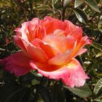 """rose """"roxane"""""""