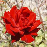 "rose ""Ingrid Bergman"""