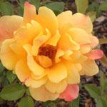 "rose ""doux parfum"""