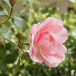 """rose """"mareva"""""""