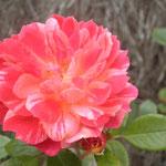 """rose """"bigoudi"""""""