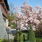 Magnolie im Garten Familie Billmann (M. Braun)
