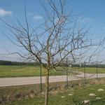 Apfelbaum am Sportplatz Rohr vor dem Schnitt