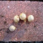 小さな玉ねぎだね。何が咲くのかな?