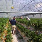 団体さんが来るといよいよイチゴ園らしくなってきました。