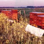 Bienen am Rapsfeld
