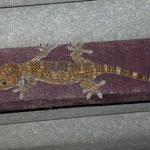Le taco, ou gros gecko, qui logeait dans notre bungalow