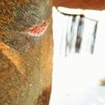 oberhalb der Wunde ist das Muskelgewebe stark geschwollen