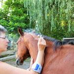 Moxa-Wärmetherapie - das Pferd geniesst di Behandlung und ist entspannt