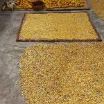 Mais ist eines der Hauptnahrungsmittel, hier zum trocknen ausgelegt.