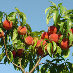 We have pick-your-own peaches. Call farm for latest info.