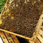 Wabe mit Buckfastbienen