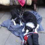 Müde und glückliche Hunde