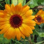 Ringelblume - tief orange wie die Glut des Feuers.