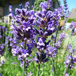 Lavendel im Sommer