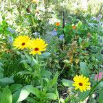 Ringelblume zwischen Borretsch und Kapuziner Kresse. Sie sind Kräuter in meiner Küche.