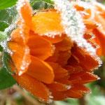 Die Ringelblume nach der ersten Frostnacht.