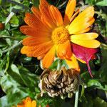 Die Blüte der Ringelblume und ihr Saat für das nächste Jahr.