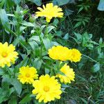 Ringelblume - strahlend gelb wie die Sonne.