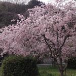 しだれ桜が満開でした!