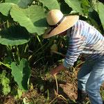 田川さんご主人です。サトイモも掘ってくださいました。