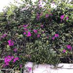 Boubainvillea Blüte im Winter!